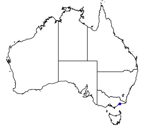 distribution map showing range of Larus atricilla in Australia