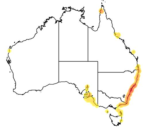 Achoerodus viridis
