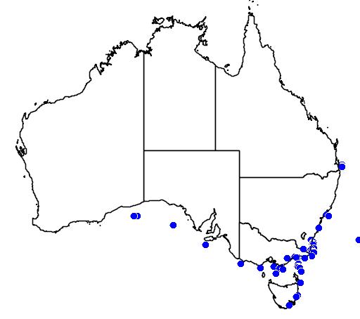 Brachionichthys australis