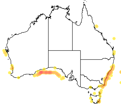 Callanthias australis