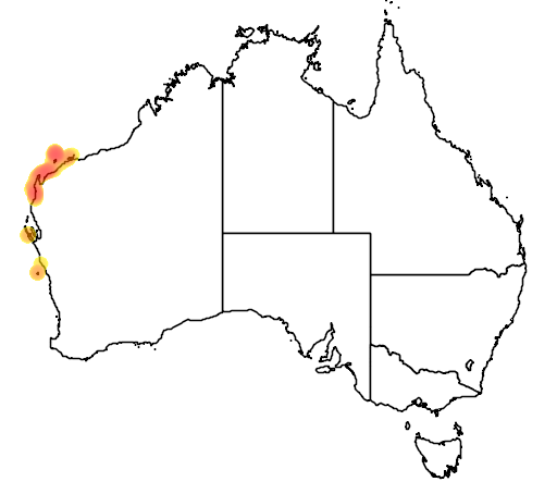 Coris caudimacula