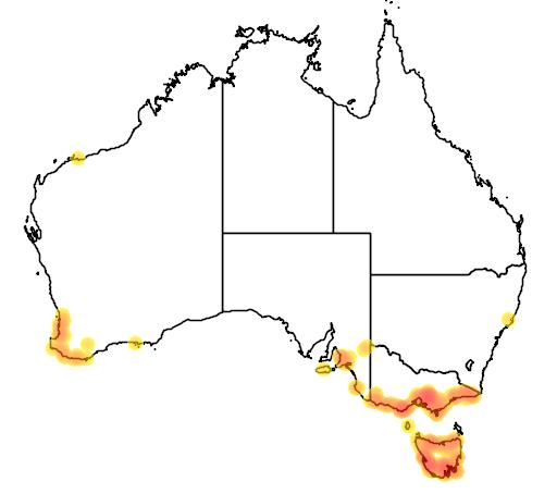 Geotria australis