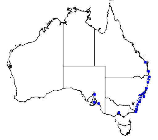 Hyporhamphus australis