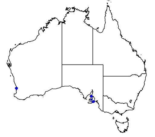 Idiotropiscis australe
