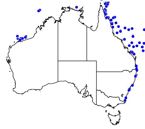 Paraluteres prionurus