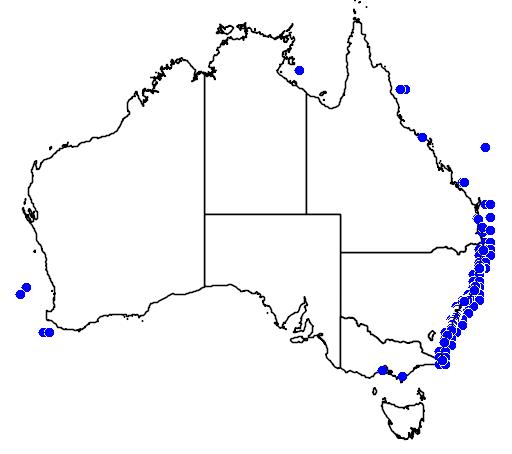 Sarda australis