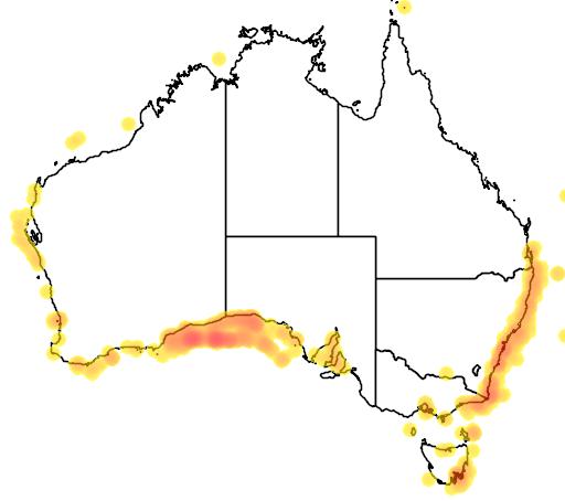 Scomber australasicus