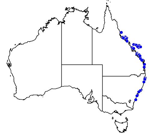 Suezichthys gracilis</