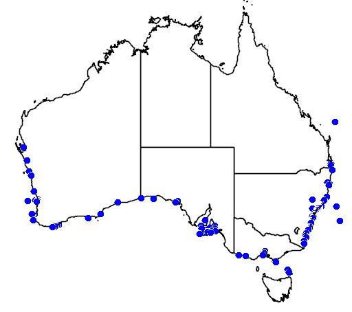 Trachichthys australis